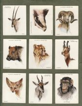 Collectable  cigarette cards Wild Animals Heads 1932, By john Players